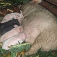 Six Piglets Feeding