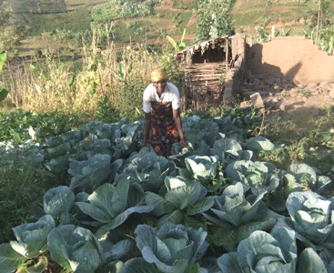 Growing Cabbages on Individual Field