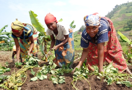Some Members Planting Potatoes