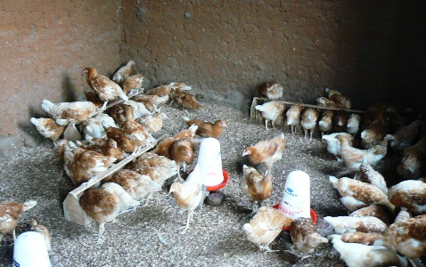 Chickens Using Feeders and Drinkers