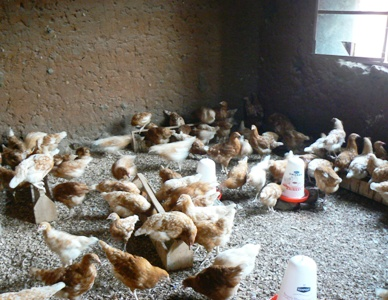 Chickens, Five Months Old and Nearly Ready to Lay Eggs